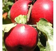 Саджанці яблуні Катерина