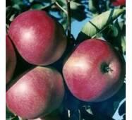 Саджанці яблуні Айдаред