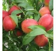 Саджанці персика - Нектарин рубіновий 8