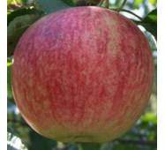 Саджанці яблуні - Слава переможцям