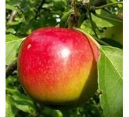 Саджанці яблуні Квінт