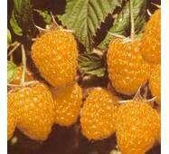 Саджанці малини-дерева Жовтий гігант від 10 шт.