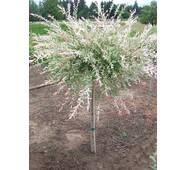 Верба  Salix integra 'Hakuro-Nishiki'