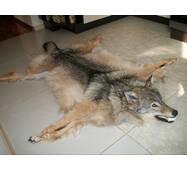 Шкура вовка