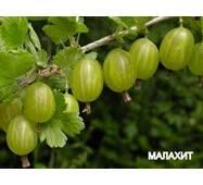 Саджанці аґрусу Малахіт в горшках