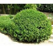 Самшит вечнозеленый (Buxus sempervirens) 50/60