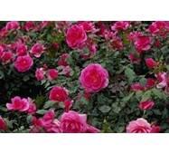 Саджанці грунтопокривних троянд