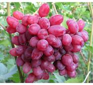 Виноград кишмиш Велес  (ІВН-42)