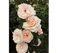Саджанці троянди Англійської Пенні Лейн (ІТЯ-135)