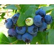 Саджанці лохини Ерлі Блу (Early Blue) 1-2-3 річні