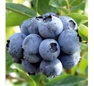 Саджанці лохини Дюк 1-2-3-4 річні (Duke Blueberry)  морозостійкість до -34°C