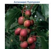 Саженцы актинидии аргуты Пурпурной садовой