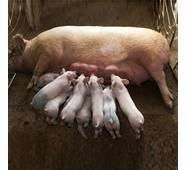 Премикс DSM для лактирующих свиноматок / 2.5%