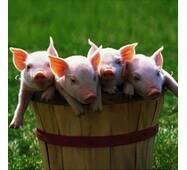 Премикс 2% DSM для свиней весом 30-110 кг (откорм)