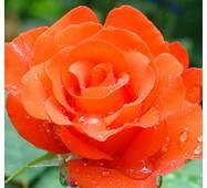 Роза чайно-гибридная Анжелика (ІТЯ-35)