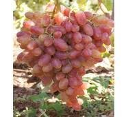 Виноград Юлиан (ІВН-50)