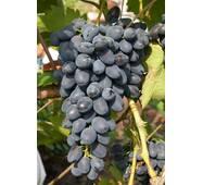 Виноград Надія АЗОС (ІВН-31)