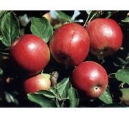 Яблука сорту Айдаред