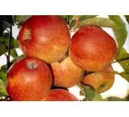 Яблука сорту Декоста