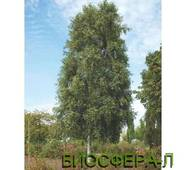 Береза повисла Фастігіата (Betula pendula Fastigiata)