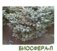 Ель колючая Глаука Глобоза (Picea glauka Globosa)