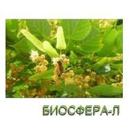 Липа сердцелистная (Tilia cordata)