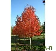 """Клен гостролистий """"ОтомБлейз"""" (Acer platanoides """"AutumnBlaze"""")"""