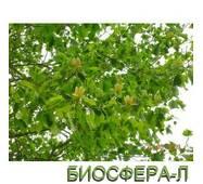 Лириодендрон тюльпановый( Liriodendron tulipifera Aureomarginata)