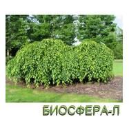 "Граб звичайний ""Пендула"" (Carpinus betulus 'Pendula')"