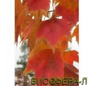 Клен червоний Ред Сансет (Acer rubrum Red Sanset)