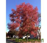 Клен червоний Октобер Глорі (Acer rubrum October Glory)