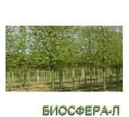 Граб обыкновенный или европейский «Франс Фонтэйн» (Carpinusbetulus FransFontaine)