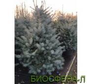 Ель колючая БлюДаймонд (Picea Blu Dsamond)