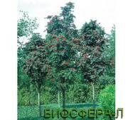 Горобина звичайна Фастігіата Sorbus aucuparia Fastigiata