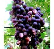 Саджанець винограду Наталія