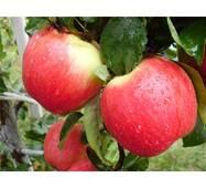 Саджанець яблуні Женева Ерлі