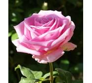 Троянда Аква