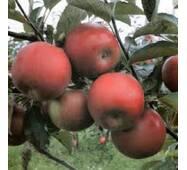 Саджанець яблуні Айдаред