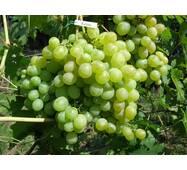 Саджанець винограду Кеша