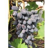 Саджанець винограду Чарлі