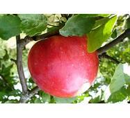 Саджанець яблуні Делічія
