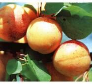 Саджанець абрикосу Оболонський