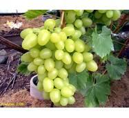 Саджанець винограду Аркадія