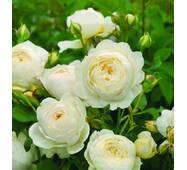 Саджанці троянди Біла сенсація (ІТЯ-225)