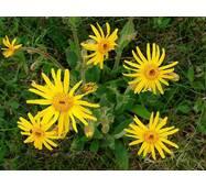 Екстракт квіток арніки гірської від виробника