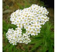 Экстракт травы тысячелистника обыкновенного, купить в Украине