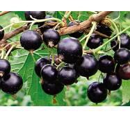 Екстракт листя чорної смородини від виробника