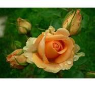 Екстракт пелюсток чайної троянди, купити в Україні