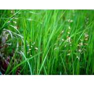 Екстракт трави зубрівки від виробника