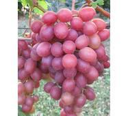 Виноград Анюта (ІВН-65)